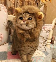 【画像】「ライオンのたてがみ」をつけた猫が可愛すぎると話題にwww |