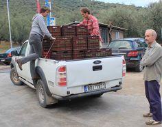 Für einen schonenden Transport werden die Oliven in kleinen Kisten noch am gleichen Ernte-Tag zur Verarbeitung in der Ölmühle angeliefert.