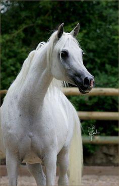Lutetia Arabians