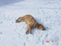 Snow Dog-Angel - http://dailyfunnypets.com/pictures/dogs-pics/snow-dog-angel/ - Snow Dog-Angel  Image by Casey at the Bat Frisco making snow dog-angels. - DogAngel, snow
