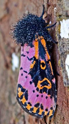 Spanish Moth (xanthopastis timais), family Noctuidae. Photo by Richard Crook