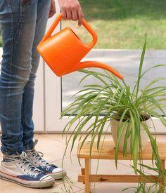 """Le chlorophytum, la plante araignée : Des plantes d'intérieur """"increvables"""" etfaciles à cultiver - Linternaute"""