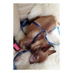 Chihuahua Moriarty loves a snooze in the car after a good walk