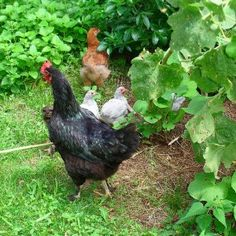 Eliminate the Cost of Chicken Feed - planting and establishing a chicken ecology