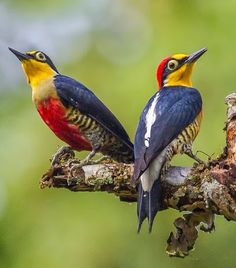 """Woodpeckers.   (""""Yellow fronted woodpeckers."""")   (Close-up of same photo with 3 birds proximate to this one.)"""