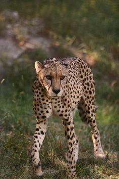 Cheetah at Sunset Zoo in Manhattan, Kansas   cheetah3. mark rose.JPG