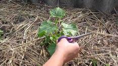 Как прищипывать огурцы: пошаговая инструкция