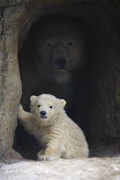 Osos Polares!