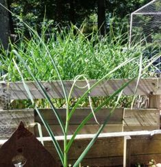 The Garlic War - Gardening Jones Garden News, Three Sisters, Vegetable Garden, Garlic, Gardening, War, Writers, Plants, Advice