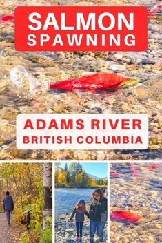 See salmon spawning in the rivers of British Columbia at Adams River BC class= Canada Travel, Travel Usa, Columbia Travel, Travel Pics, Travel Ideas, Nature Adventure, Adventure Travel, Things To Do In Kelowna, Columbia Outdoor