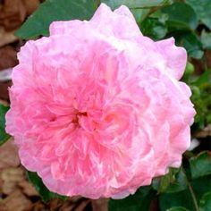 ROSE DE CORNOUAILLE Rosier anglais aux grandes fleurs rose pastel très doubles et au parfum puissant. Cette variété moderne créée par Harkness allie le charme des roses anglaises aux progrès des rosiers modernes, comme la floraison de longue durée et la résistance aux maladies.
