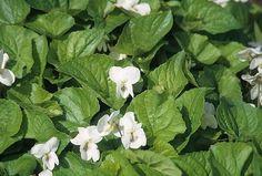 Pensamientos  Viola  Edible flowers