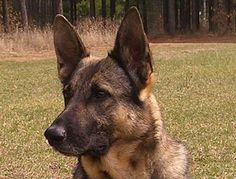 We breed and import German Shepherd Dogs German Shepherd Breeders, German Shepherds, World, Image, House, The World, German Shepherd Dogs, Shepherd Dogs