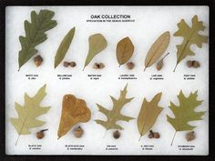 Oak Collection Leaf and Seed Display - Oak Leaf Display Oak Leaves, Tree Leaves, Oak Leaf Identification, Trees And Shrubs, Trees To Plant, Live Oak Trees, Nature Collection, Garden Trees, Leaf Art