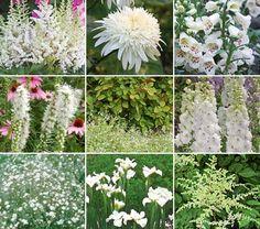 From White Flowers Farm... suggested white flowers for a Moon Garden:  Fraises des Bois Strawberries,  Astilbe x arendsii 'Bridal Veil',  Astilbe chinensis 'Vision in White', Leucanthemum x superbum 'Ice Star',   Iris sibirica 'Gull's Wing',   Gypsophila paniculata 'Bristol Fairy',   Liatris spicata 'Alba',  Digitalis purpurea 'Camelot White',   Delphinium 'Centurion White'