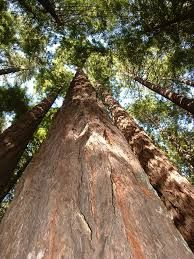 giant redwoods yosemite - Google Search