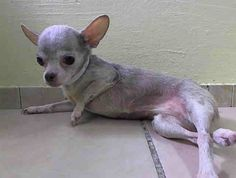 SUPER URGENT 4/10/14 Manhattan Center   MIINNIE - A0996180  *** CAN'T GET UP/DEFORMED LEGS/SWOLLEN FOREHEAD *** NEEDS TO LEAVE ASAP ***  FEMALE, TAN / WHITE, CHIHUAHUA SH MIX, 3 yrs OWNER SUR - ONHOLDHERE, HOLD FOR ID Reason PET HEALTH  Intake condition ILLNESS Intake Date 04/09/2014, From NY 10467, DueOut Date 04/09/2014, https://www.facebook.com/photo.php?fbid=785066198172928&set=a.617942388218644.1073741870.152876678058553&type=3&theater