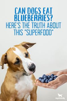 Blueberries provide some amazing health benefits for your dog!  Here's why this superfood should be in your dog's bowl...