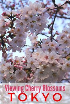 Guide and tips to viewing cherry blossoms or sakura and hanami parties at Ueno Park in Tokyo, Japan.