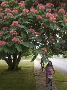 A study in pink, underneath the Mimosa tree by James K Radke