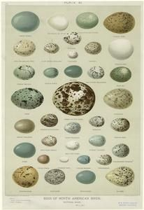Eggs of North American birds, natural sizes - ID: 820623 - NYPL Digital Gallery