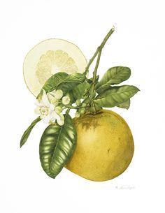 Citrus pomelo # 1 (print) - Annie Hughes