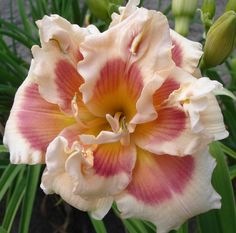 Spring Fever daylily Forty Second Street
