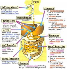 Human Digestive System - Health, Medicine and Anatomy Reference Pictures