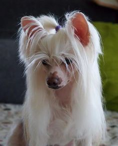 Chinese Crested, for some reason i want  one of these dogs.  I think they are adorable