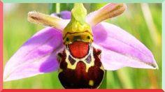 Ophrys bomybliflora