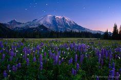 Mount Rainier Meadow Flowers   Mount Rainier with Spring Lupine Flowers and Twilight Stars, Mount ...