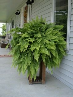 Ferns Products - Faux Trees N' Shrubs Ferns Garden, Balcony Garden, Garden Gates, Striped Accent Walls, Front Porch Planters, Boston Ferns, Topiary Trees, Backyard Projects, Trees And Shrubs