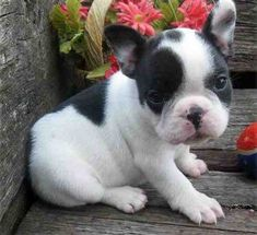 French Bulldog pup, wish they would stay this adorable.