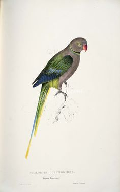 Psittacula columboides -Palaeornis columboides. Pigeon Parrakeet -by Edward Lear 1812-1888   ...