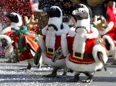 Penguin Santa's!
