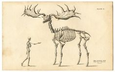 fossil elk and human skeleton