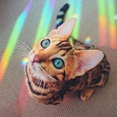 Beautiful bengal kitty with the rainbow shining on his blue eyes! So aesthetic & cute! The Animals, Baby Animals, Funny Animals, Cute Cats, Funny Cats, F2 Savannah Cat, Photo Chat, Cat Aesthetic, Cat Photography