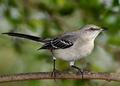 Northern Mockingbird - a year round resident often seen in our yard and around the neighborhood, Joshua TX
