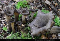Trompette des morts - Craterellus cornucopioides