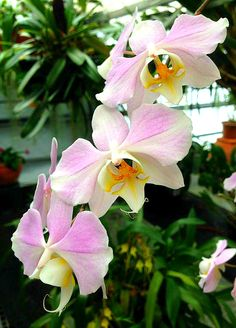 Phalaenopsis Sanderiana in our orchid garden Orchideengarten Karge in… Flowers Nature, Exotic Flowers, Amazing Flowers, Orchid Varieties, Orchid Show, Orchids Garden, Orchidaceae, Floral Photography, House Plants
