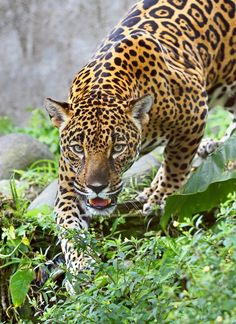 Stalking Jaguar - Costa Rica - A big Jaguar checks me out as he slowly approaches....the fence (somewhere in Costa Rica) © Jim Cumming To purchase prints, cards, pillows, shirts and more you can visit my Redbubble site
