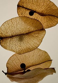 Bougainvillea Seed Pods  Seed Pods by MacCraft n 2d3d