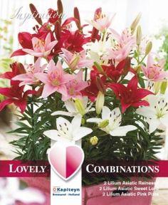 Bilde av Liljekolleksjon, lav Red, white and pink - 6 stk