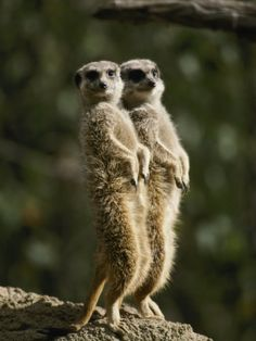 A Pair of Meerkats Keep a Double Watch on Things Photographic Print