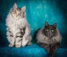 Rafaella & Raphael Bobtail Cat, Cattery, Cats, Animals, Gatos, Animales, Animaux, Animal, Cat