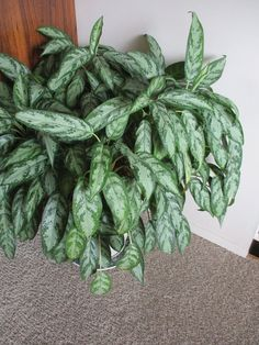 'Silver Queen' is often called Chinese evergreen - Manitoba Co-operator Peace Lily Plant Care, Peace Lily Flower, Chinese Evergreen Plant, Snake Plant Care, Air Cleaning Plants, Low Light Plants, Plant Diseases, Poisonous Plants, House Plants