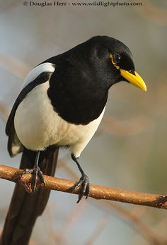Yellow-billed Magpie (Pica nuttalli) is a large bird in the crow family found only in California. It inhabits the Central Valley and the adjacent chaparral foothills and mountains. Apart from its having a yellow bill and a yellow streak around the eye, it is virtually identical to the Black-billed Magpie (Pica hudsonia) found in much of the rest of North America.  [previous pinner's caption]