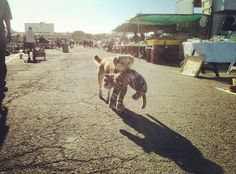 """I snapped this photo of this sweet loving dog named """"Pup"""" at the flea market, carrying his favorite stuffed toy. Pup was rescued from a group of men that were horribly abusing him, things I can't speak of, nor do I want to repeat. It amazes me how an animal can experience such horrors at the hands of careless people, yet learn to trust people once again. Sleep tight tonight, Pup."""