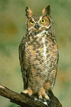 Owls are neat. Great Horned Owl.