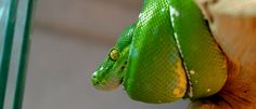 Who doesn't like Green Tree #Pythons?